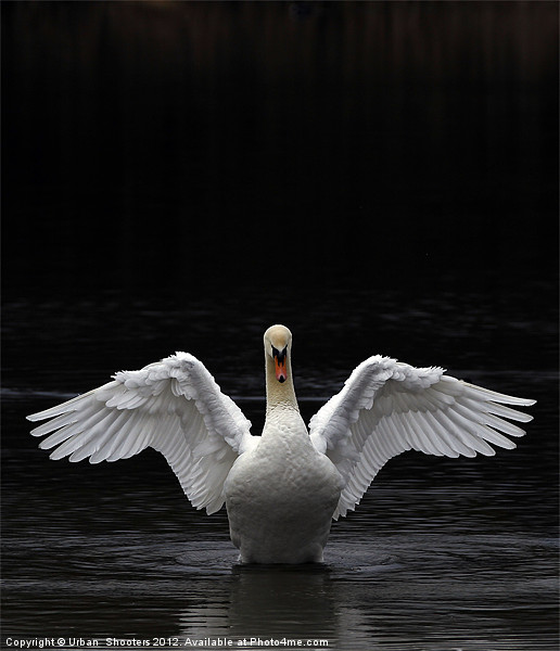 Mute Swan stretching it's wings Canvas print by Urban Shooters PistolasUrbanas!