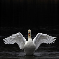 Buy canvas prints of Mute Swan stretching it's wings by Urban Shooters PistolasUrbanas!
