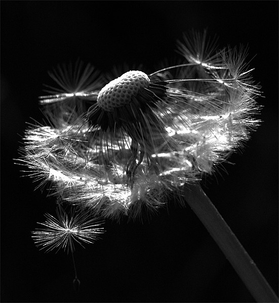 Dandelion Seed Head Canvas print by Alison Streets