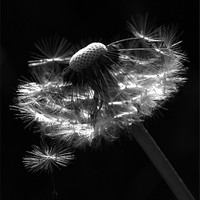 Buy canvas prints of Dandelion Seed Head by Alison Streets