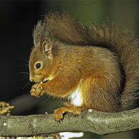 Buy canvas prints of Red Squirrel by George Cox