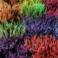Buy canvas prints of Colourfull Heathers by JEAN FITZHUGH