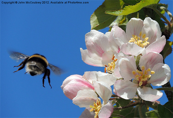 Apple Blossom and a Bee Canvas Print by John McCoubrey