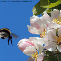Buy canvas prints of Apple Blossom and a Bee by John McCoubrey