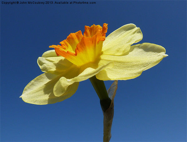 Narcissus Daffodil in Landscape Format Canvas Print by John McCoubrey