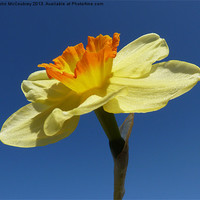 Buy canvas prints of Narcissus Daffodil in Landscape Format by John McCoubrey