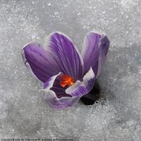 Buy canvas prints of Crocus in the Snow by John McCoubrey