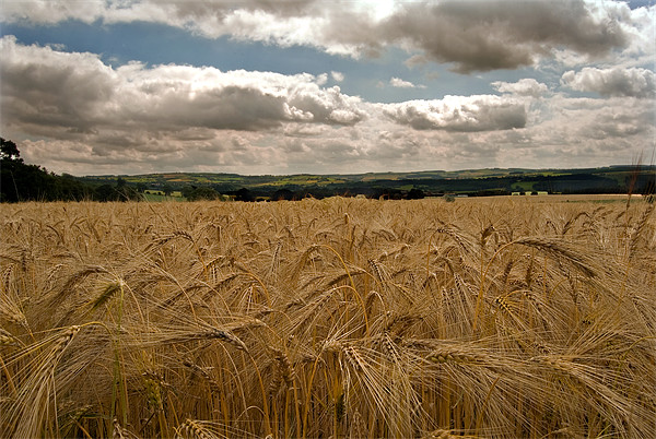 countryside Wheat field Print by eric carpenter