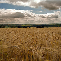 Buy canvas prints of countryside Wheat field by eric carpenter