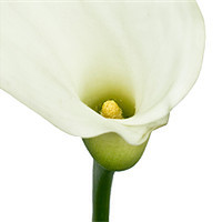 Buy canvas prints of Three White Lillies by Alex Hooker
