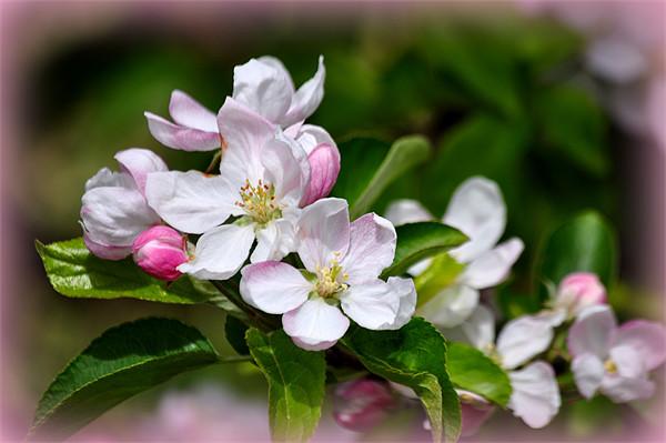 apple blossom Canvas Print by susan davies