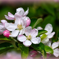 Buy canvas prints of apple blossom by susan davies
