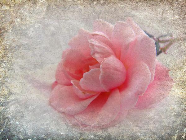 antique rose Canvas print by susan davies