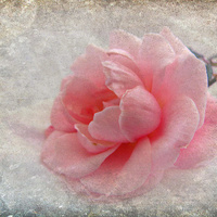 Buy canvas prints of antique rose by susan davies