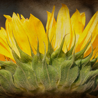 Buy canvas prints of  cheerful sunflower by susan davies