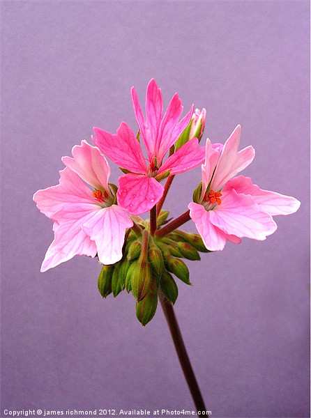 Pelargonium - 5 Canvas print by james richmond
