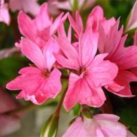 Buy canvas prints of Pink Pelargonium by james richmond