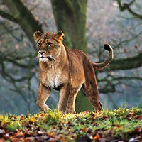 Buy canvas prints of On the Prowl by Graham Parry