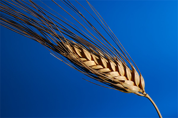 Tenons of wheat over blue background Framed Print by Josep M Peñalver