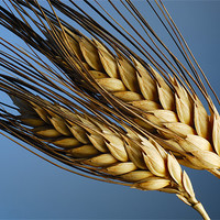 Buy canvas prints of Tenons of wheat over blue background by Josep M Peñalver