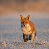 Buy canvas prints of Fox Close Up by Carl Day