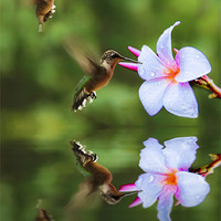 Buy canvas prints of Hummingbirds and Slaughter Pink by Robert Pettitt