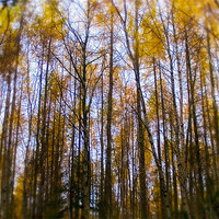 Buy canvas prints of Autumn birch at Reelig by Macrae Images