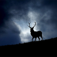 Buy canvas prints of The stag by Macrae Images