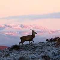 Buy canvas prints of Red deer, Ben Wyvis by Macrae Images