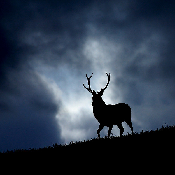 The stag Canvas print by Macrae Images