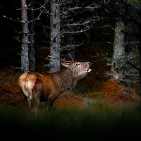 Buy canvas prints of Roaring stag by Macrae Images