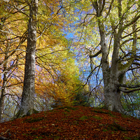 Buy canvas prints of Reelig Forest by Macrae Images