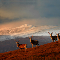 Buy canvas prints of Bachelor group of stags by Macrae Images