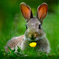 Buy canvas prints of Baby Rabbit by Macrae Images