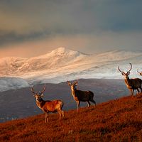 Buy canvas prints of Highland Stags by Macrae Images