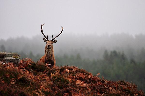 Red deer stag Canvas print by Macrae Images