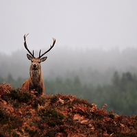 Buy canvas prints of   Red deer stag by Macrae Images