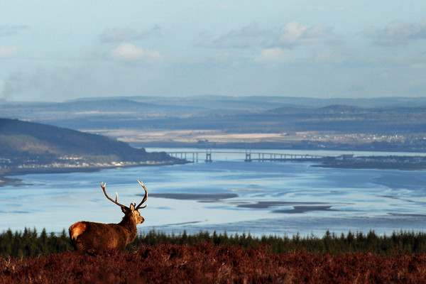 Stag Overlooking the Beauly Firth and Inverness Canvas print by Macrae Images