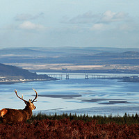 Buy canvas prints of Stag Overlooking the Beauly Firth and Inverness by Macrae Images