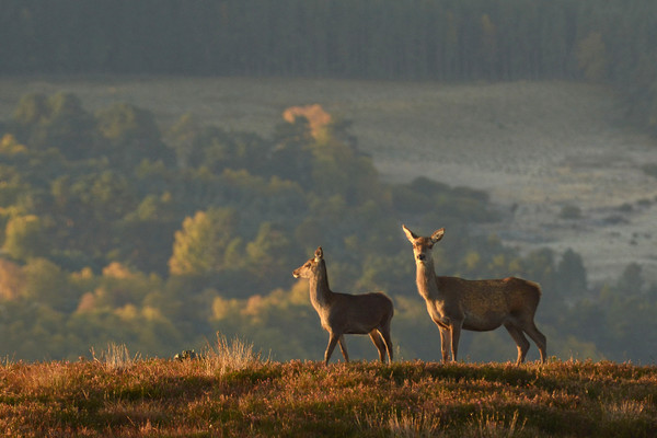 Red Deer in the Highlands  Canvas print by Macrae Images