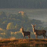 Buy canvas prints of Red Deer in the Highlands  by Macrae Images
