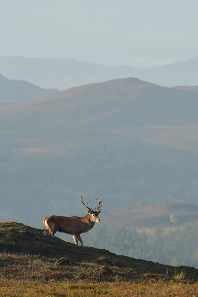 Royal Stag in the Highlands  Canvas print by Macrae Images