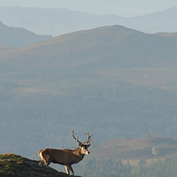 Buy canvas prints of Royal Stag in the Highlands  by Macrae Images