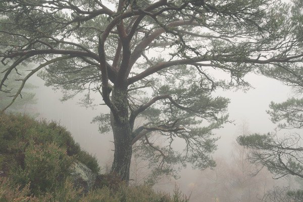 Misty Scots Pine Canvas print by Macrae Images
