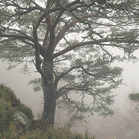 Buy canvas prints of Misty Scots Pine by Macrae Images
