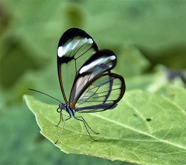 Glasswing Canvas print by Fraser Hetherington