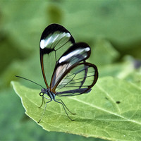 Buy canvas prints of Glasswing by Fraser Hetherington