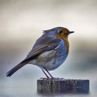 Buy canvas prints of Robby the Robin by Fraser Hetherington