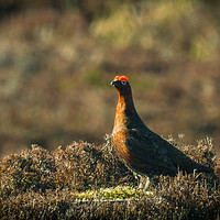 Buy canvas prints of Almost Famous Grouse by Fraser Hetherington