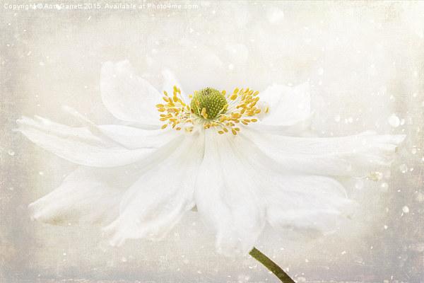 White Japanese Anemone Canvas print by Ann Garrett